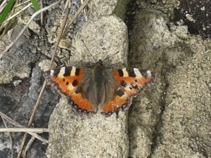 'A small tortoiseshell sunning itself by the cycleway (where the beck goes underground) opposite Canal Rd, taken while volunteering with BEES.'